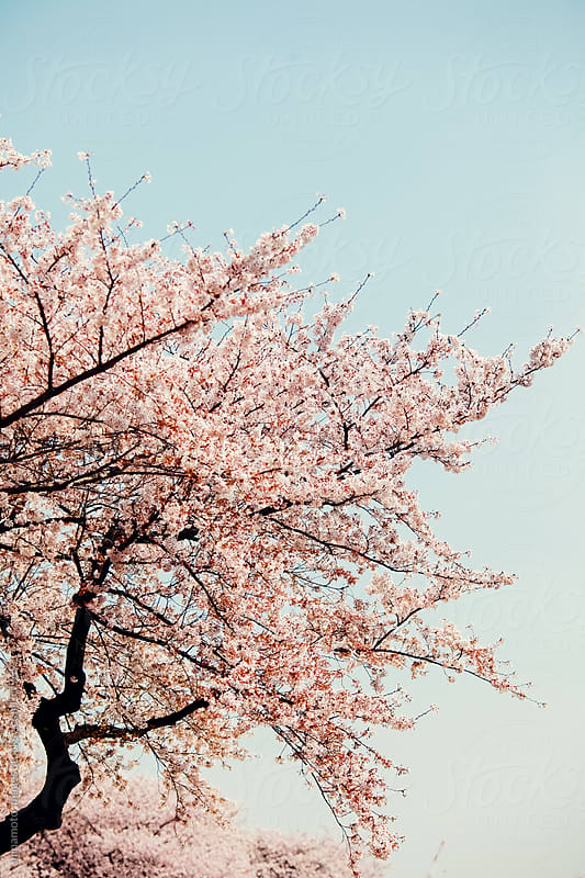 Cherry Trees In Tokyo, Japan by minamoto images for Stocksy United