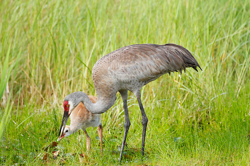 Sandhill Cranes by Paul Tessier for Stocksy United