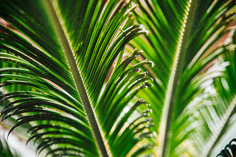 Palm tree leaves detail by Alejandro Moreno de Carlos for Stocksy United