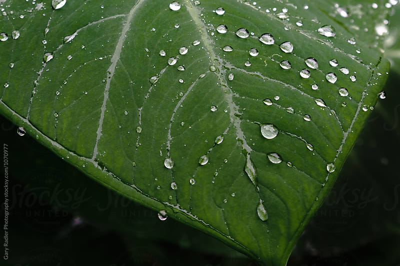 Droplets of water on a large leaf by Gary Radler Photography for Stocksy United