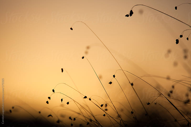 Silhouettes of wispy grass as the sun rises by Carolyn Lagattuta for Stocksy United