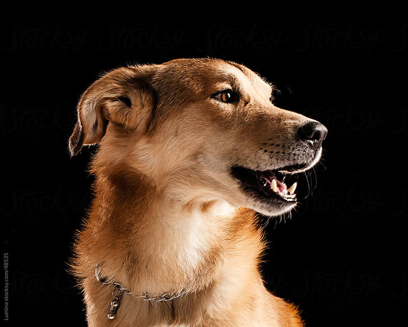 Crossbred Dog's Portrait by Lumina for Stocksy United