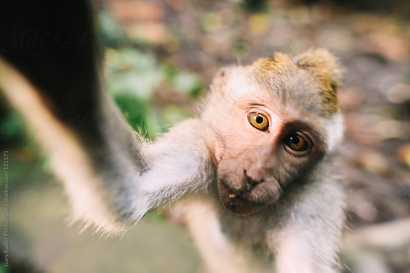 Juvenile long-tailed macaque by Gary Radler Photography for Stocksy United
