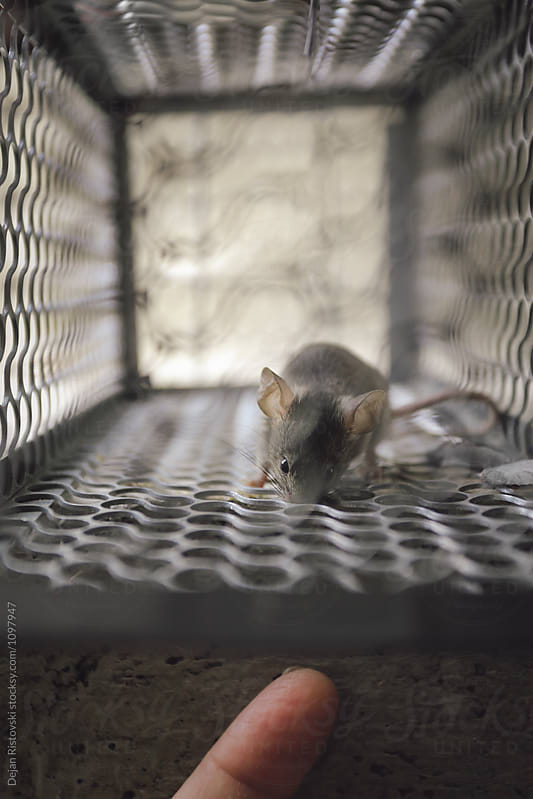 Curious mouse.  by Dejan Ristovski for Stocksy United