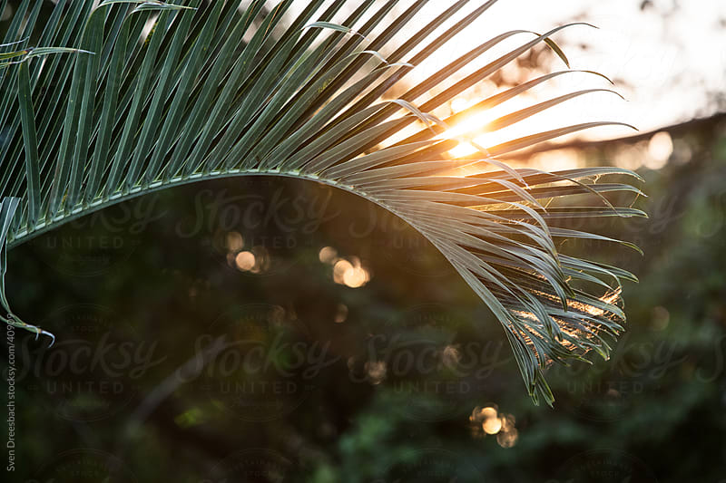 palm tree in sunset by Sven Dreesbach for Stocksy United