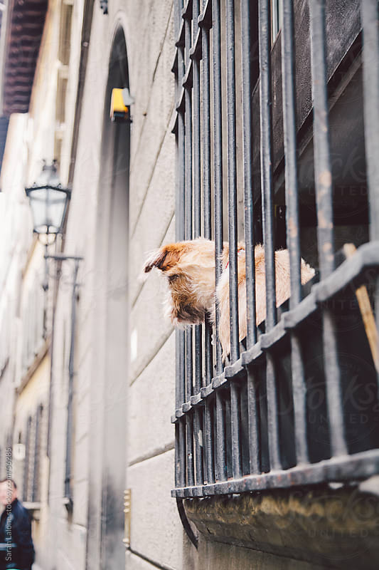 Scruffy dog peeking out of a iron gate over a window in Florence by Sarah Lalone for Stocksy United