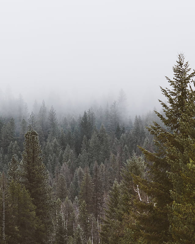 Fog and pine trees of the Northwest.  by Justin Mullet for Stocksy United