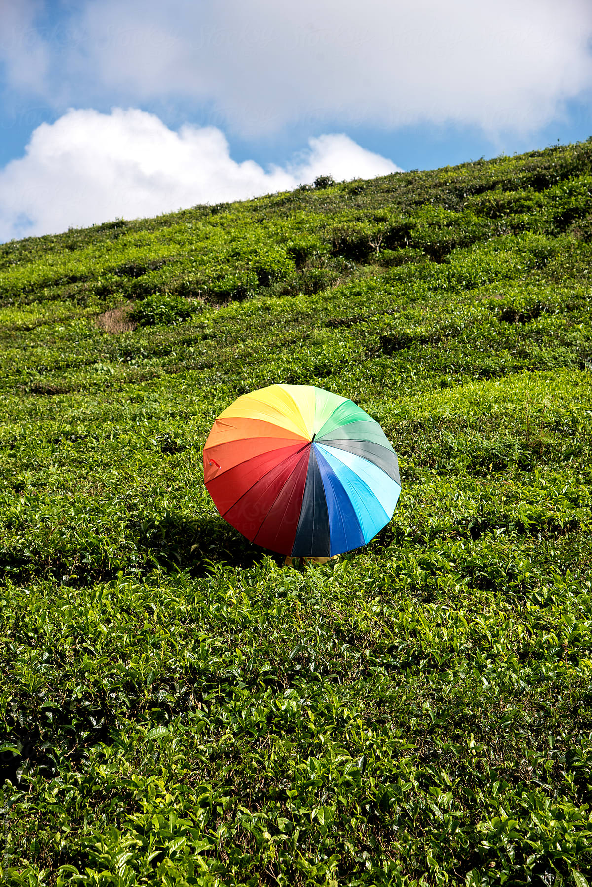 Person With A Colorful Umbrella On The Tea Fields In The Cameron ...
