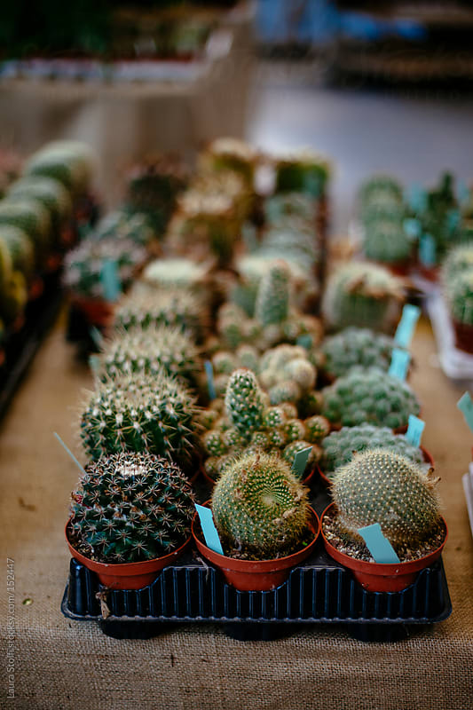 Succulent plants in pots for sale by Laura Stolfi for Stocksy United