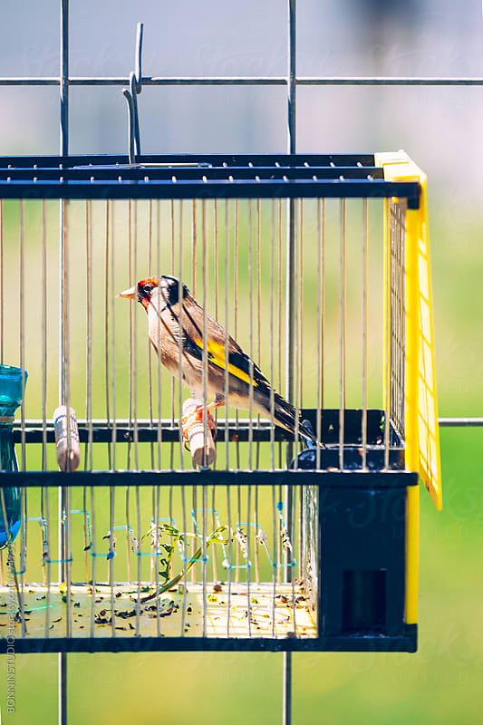 Singing contest goldfinch on a little bird cage. by BONNINSTUDIO for Stocksy United