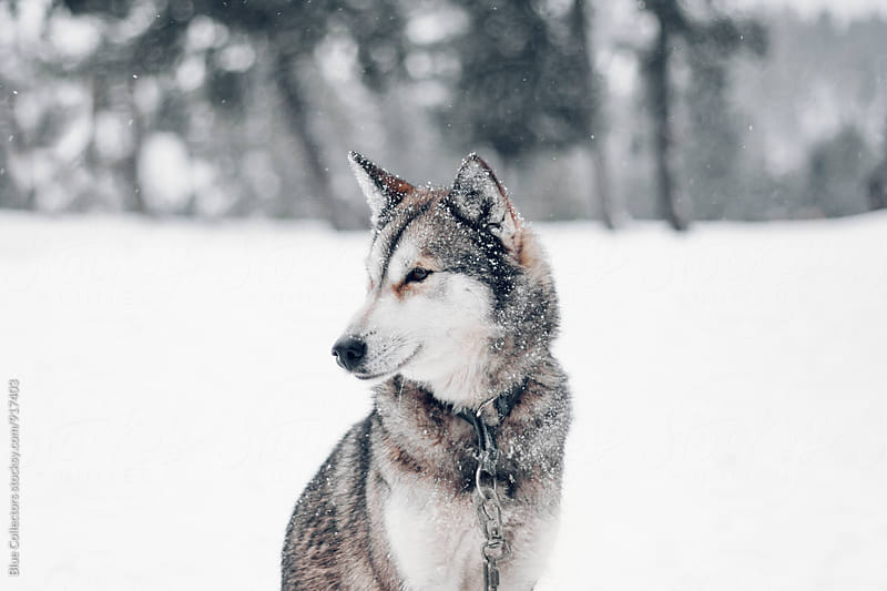 Husky in snow by Blue Collectors for Stocksy United