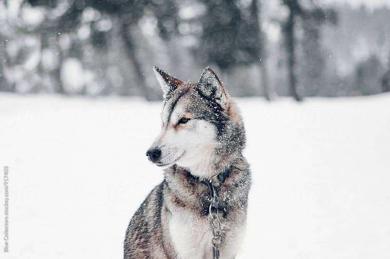 Husky in snow by Jordi Rulló for Stocksy United
