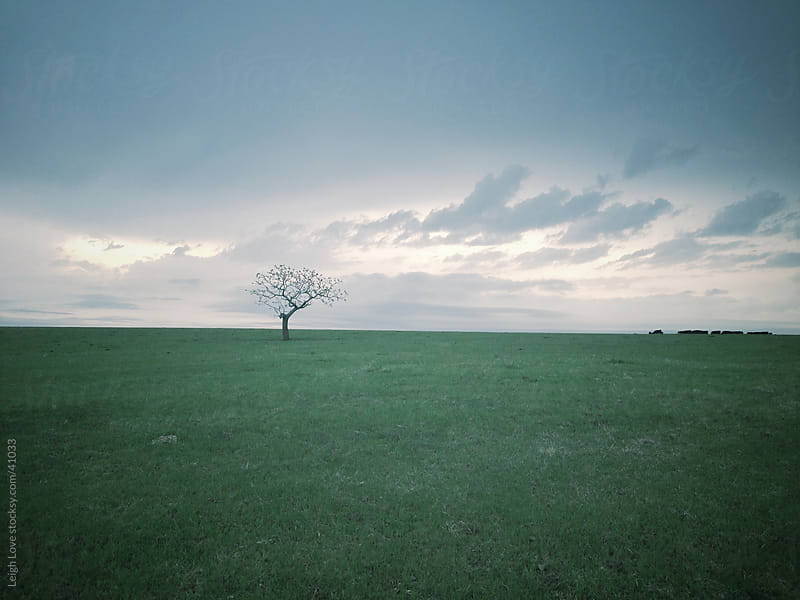 Lone Tree in a Green Field with Cows by Leigh Love for Stocksy United