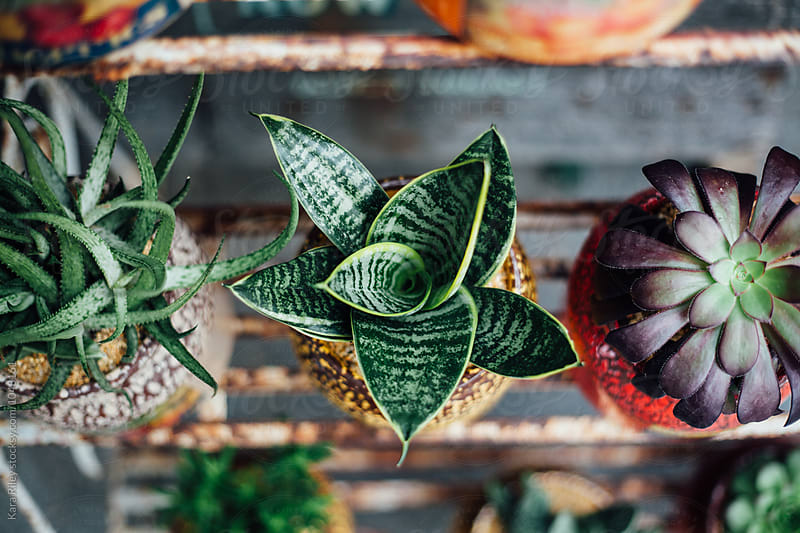 Succulent Plants in vintage cans by Kara Riley for Stocksy United