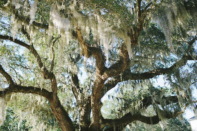 Old Oak tree  by Michelle Gardella for Stocksy United