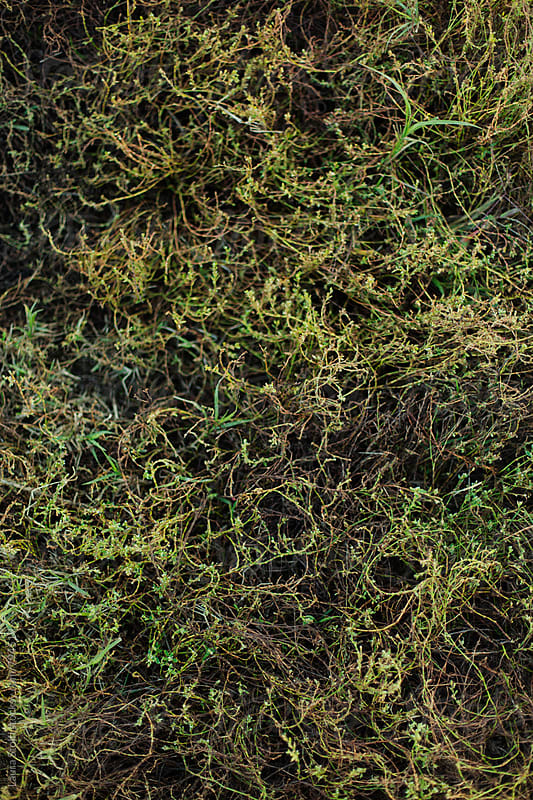 Wild grass crawling on the ground, overhead shot by Laura Stolfi for Stocksy United