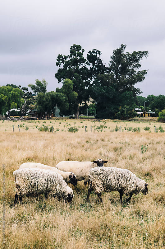 Sheep, Cheviot, New Zealand. by Thomas Pickard Photography Ltd. for Stocksy United