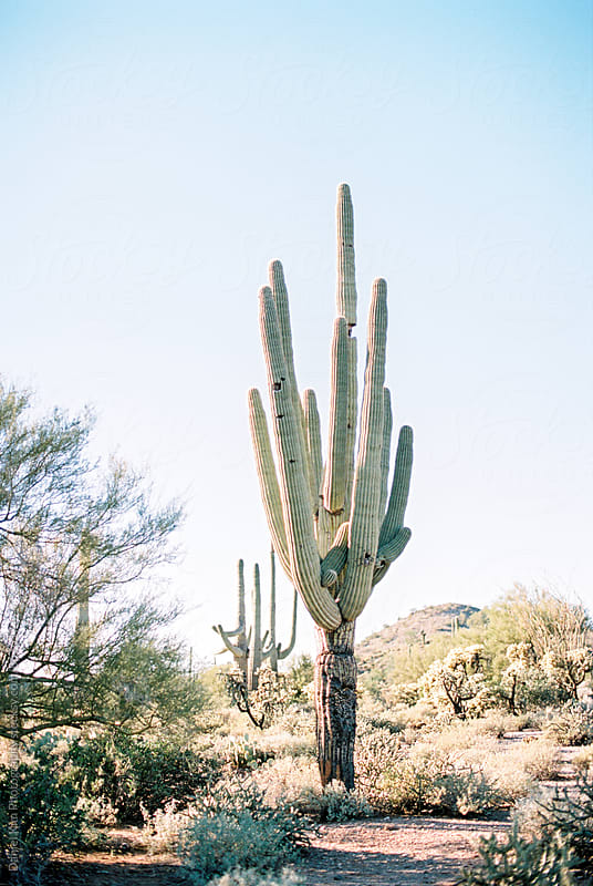 Giant Saguaro cactus in the desret by Daniel Kim Photography for Stocksy United