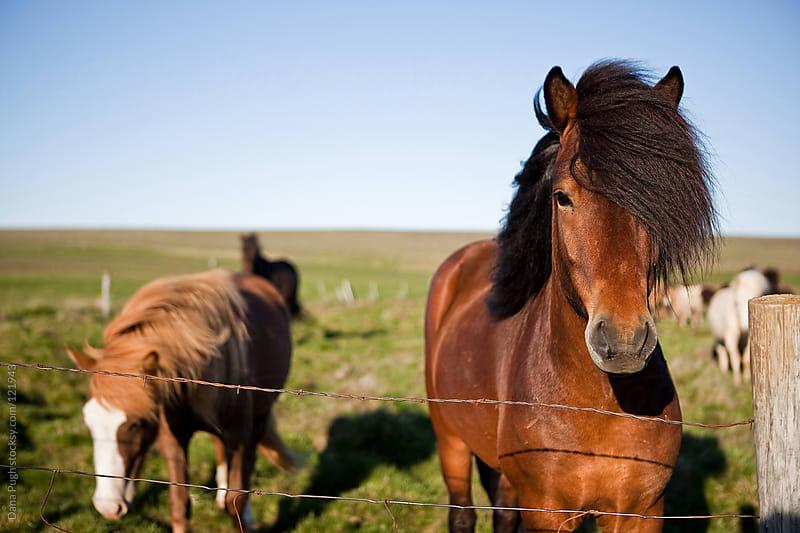 Icelandic Horses by Dana Pugh for Stocksy United