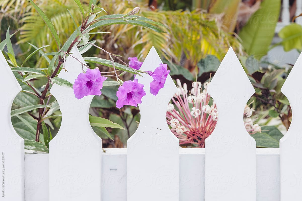 White picket fences with flowers in spring as background pattern for white picket fences with flowers in spring as background pattern for suburban and rural lifestyle by mightylinksfo