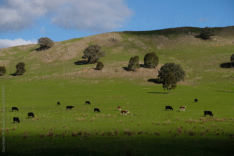 Cows Grazing at the Bottom of a Rocky Hill by Gary Radler Photography for Stocksy United