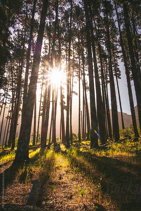 Sun flare and rays through trees in a forest by Micky Wiswedel for Stocksy United