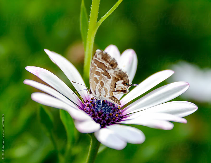 Small brown butterfly on a flower by ACALU Studio for Stocksy United