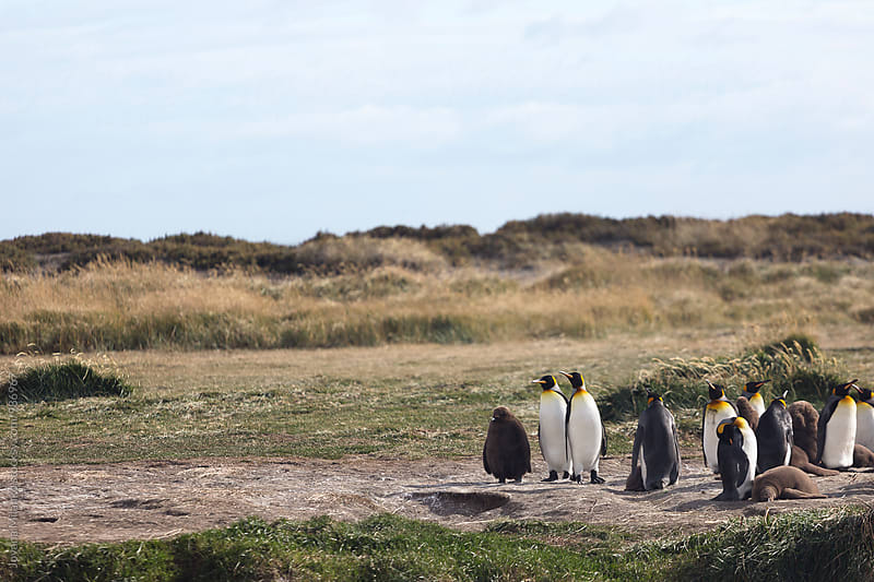 King Penguin colony with juveniles on Tierra del Fuego in Chilean Patagonia  by Jovana Milanko for Stocksy United