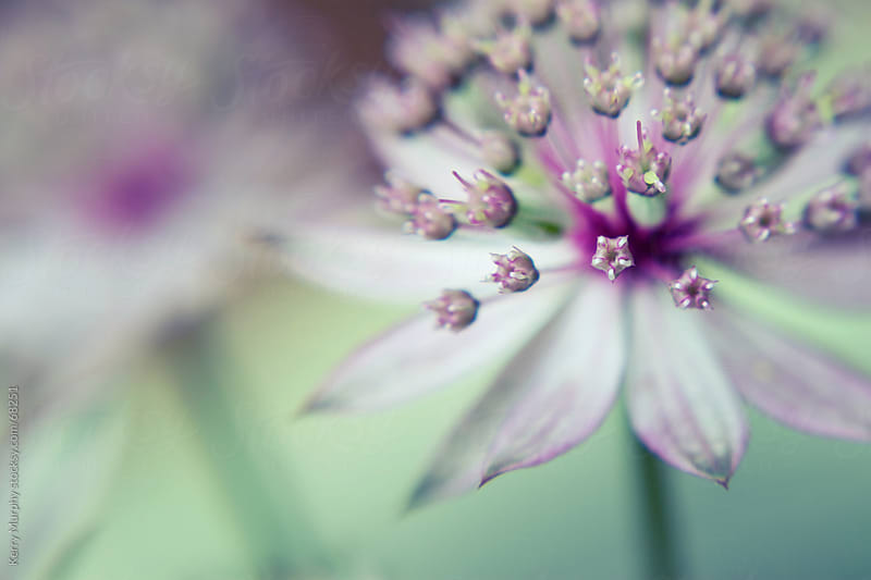 Macro of small pink flower by Kerry Murphy for Stocksy United
