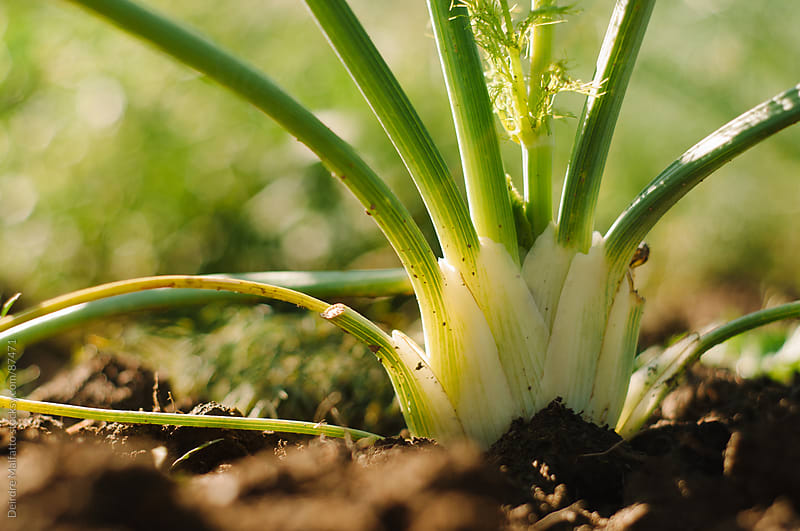 close-up of fennel, growing by Deirdre Malfatto for Stocksy United