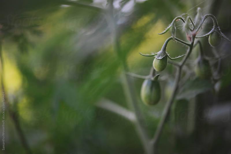 green tomatoes on the vine by Samantha Wesselhoft for Stocksy United