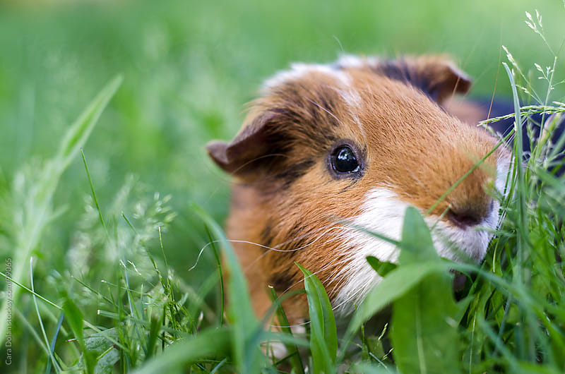 Pet calico guinea pig grazes in the grass of his owner's backyard by Cara Dolan for Stocksy United