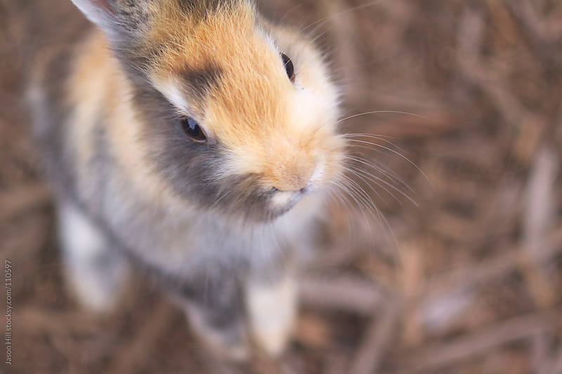 Close up of a rabbit by Jason Hill for Stocksy United