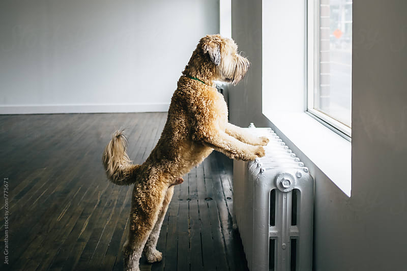 Wheaten terrier looking out the window by Jen Grantham for Stocksy United