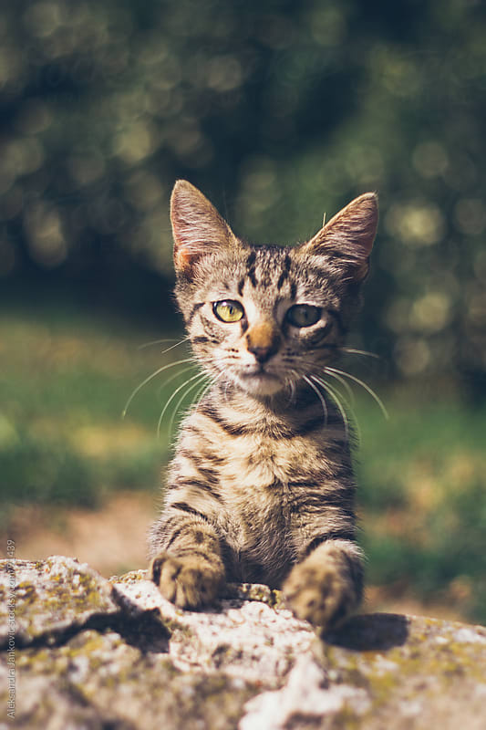 Cute kitten looking at the camera by Aleksandra Jankovic for Stocksy United