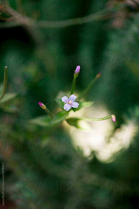 Tiny lilac flower and it buds growing amongst herbs in garden by Laura Stolfi for Stocksy United