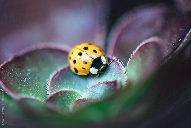 Yellow ladybug in a purple succulent by Carolyn Lagattuta for Stocksy United