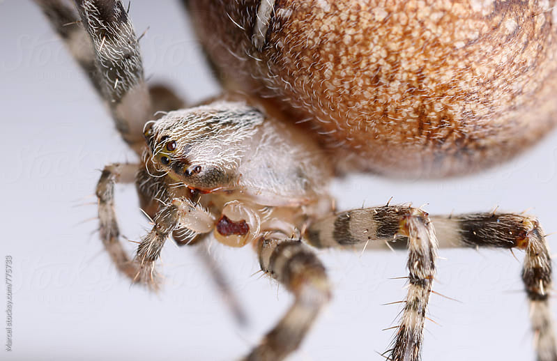 European garden spider up close by Marcel for Stocksy United