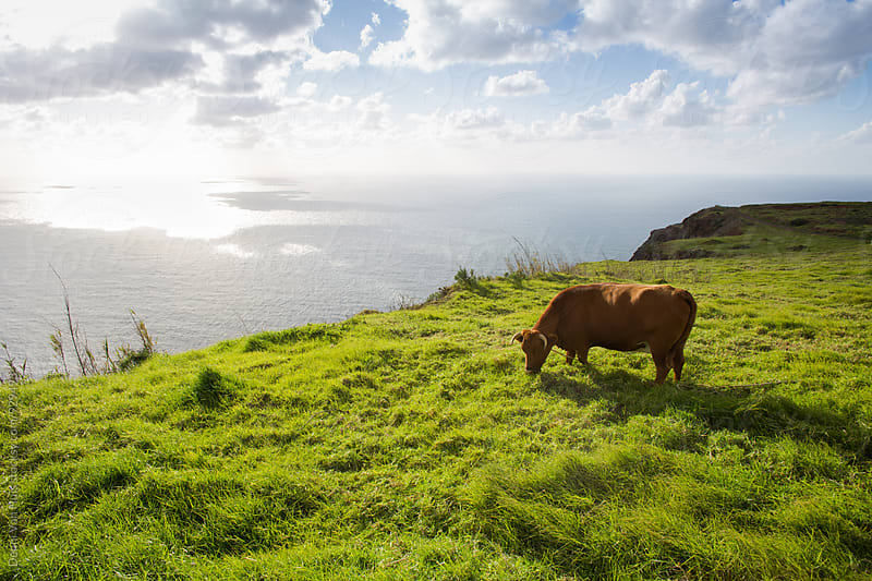 Cow feeding from grass on a cliff along the ocean by Denni Van Huis for Stocksy United