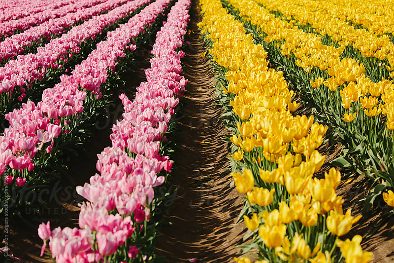 field of tulips on spring by Cameron Zegers for Stocksy United