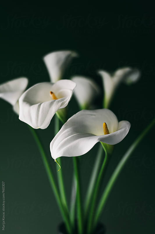 White callas indoor by Marija Kovac for Stocksy United