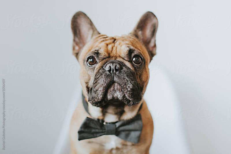 Dapper French Bulldog Puppy in a Bowtie by Rachel Gulotta Photography for Stocksy United