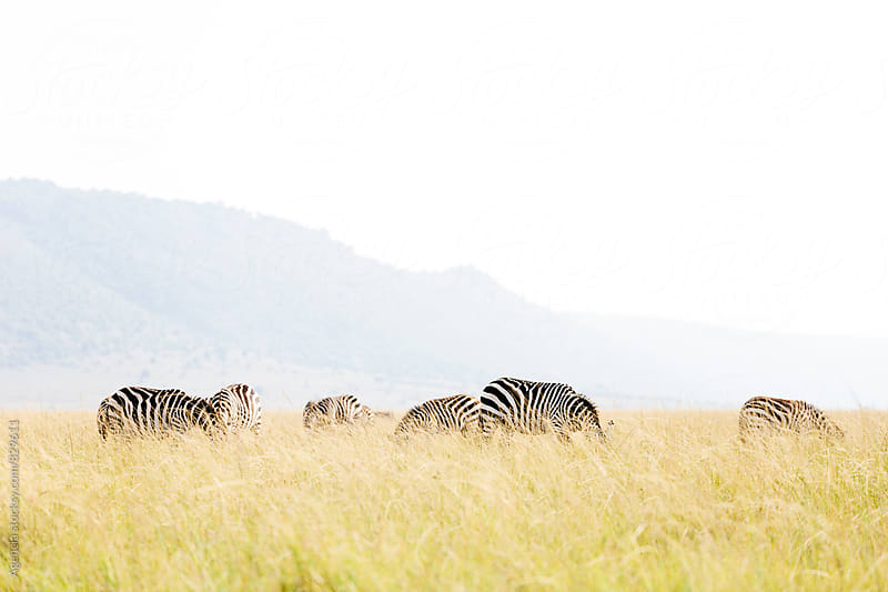 Zebra Herd by Agencia for Stocksy United