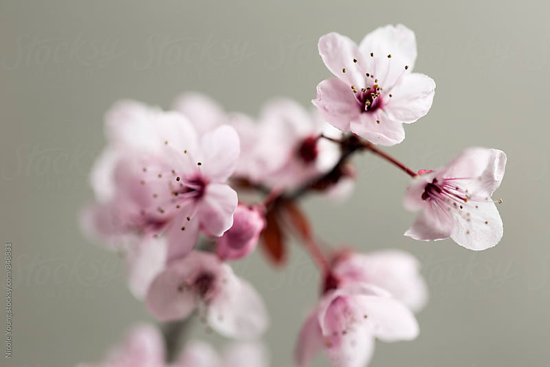 Cherry Blossoms by Nicole Young for Stocksy United