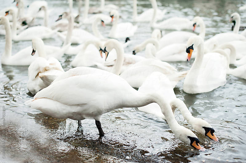 Swans on the River Thames by Christina Kilgour for Stocksy United
