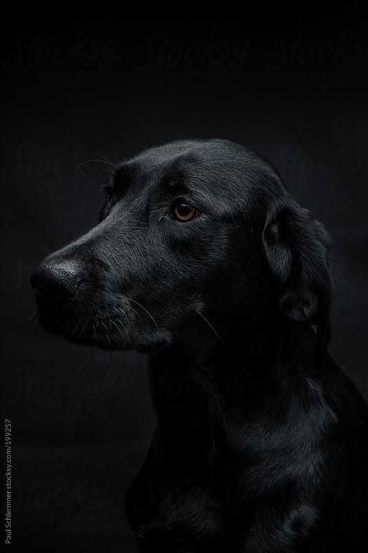 dark portrait of a labrador dog by Paul Schlemmer for Stocksy United