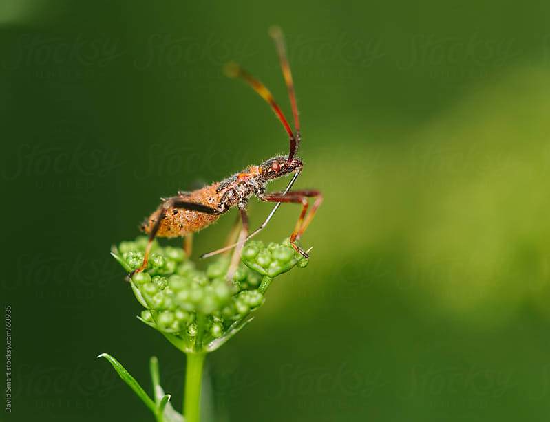 A predatory assassin bug sitting on parsley flower by David Smart for Stocksy United