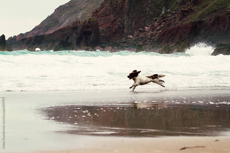 A brown and white dog running along a beach.  by Helen Rushbrook for Stocksy United