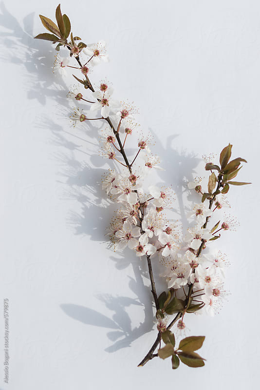 Cherry blossom branch by Alessio Bogani for Stocksy United