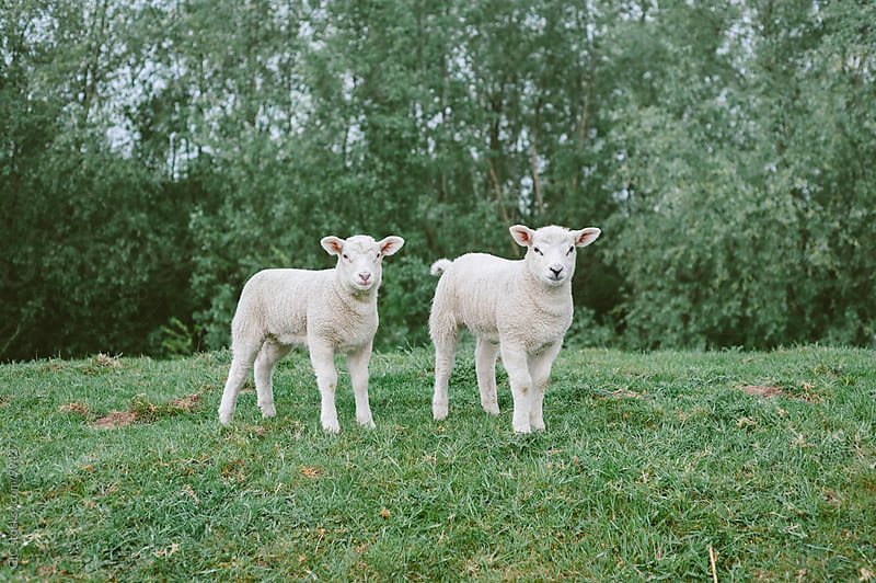 Two cute lambs looking at camera by GIC for Stocksy United
